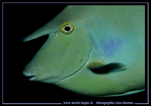 Shortnose unicornfish... :O)... by Michel Lonfat 